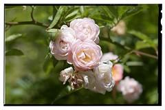 wild rose (Jemele10) Tags: nikon d610 wuerzburg würzburg marienberg festung fortress garten garden blumen flower rose tamron90 tamron90macro detschland germany tamron sp 90mm f28 di macro 11 vc usd tamronsp90mmf28dimacro11vcusd