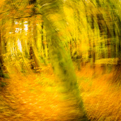 Intentional camera movement-7 (ianmiddleton1) Tags: icm movement trees woodland autumn fall