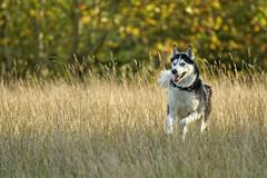 blue eyes & autumnal colours (Blende1.8) Tags: husky dog hund pet animal action moving movement bewegung inbewegung meadow wiese hundewiese hunde haustier haustiere autumn autunmal fall herbst frühherbst herbstfarben rennen laufen spass fun happydog sony alpha ilce6300 a6300 sel70300g 70300mm carstenheyer