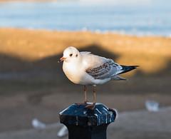 Seagull (Robin Mulligan) Tags: birf bird birdlife nik nikonpassion nikond810