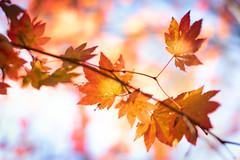 Close up of Autumn (kellypettit) Tags: leafs autumn fall colour closeup mapleleaf blues beauty
