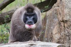Drill (Mel.Rick) Tags: natur nature tiere animals säugetiere mammals zoo zooosnabrück primaten affen drill mandrillusleucophaeus backentaschenaffe pavianartige