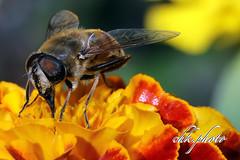 Bee at work (chk.photo) Tags: flower nature blume bee outdoor biene natur naturemasterclass naturewatcher