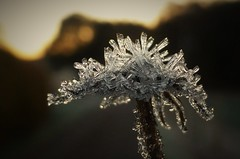 Frosted Flower..x (Lisa@Lethen) Tags: frosted flower frost hoar weather nature macro weed frozen autumn scotland ice