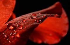 Rain Drops on a Petal (1selecta) Tags: flower petal rain water liquid fluid red reddish black focus outoffocus