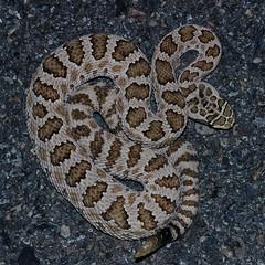 Great basin rattlesnake (Crotalus oreganus lutosus) (phl_with_a_camera1) Tags: great basin rattlesnake crotalus oreganus lutosus utah desert evening night
