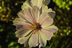 Evening sun - Abendsonne (Kat-i) Tags: blume flower abendsonne eveningsun macro makro insekt insect rosa outside nikon1v1 cosmea schmuckkörbchen kati katharina 2018