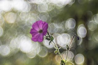 Petúnia (Petunia)