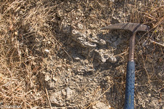 (correia.nuno1) Tags: geomonumentos lisboa miocénico geologia virgílio correia geology geologie ostras