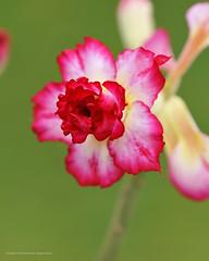 Double Desert Rose (Elmer The Fudd) Tags: iso800 shotat105mm f63 speed1125 expcomp00 ev123 nikond700 vr105mmf28gifed phantomphoto flowers garden petals plants desertrose valsayn tto