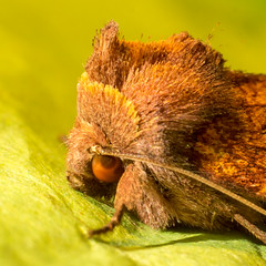 Papaipema inquaesita - Sensitive Fern Borer - Hodges#9483 (claudiaulrikegoodall) Tags: