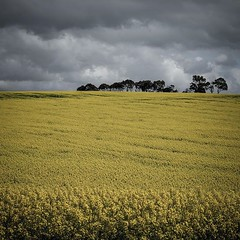 Canola under a cloudy sky near Portarlington #visitportarlington #portarlington #bellerinepeninsula #canola #spring #yellow #fujifilmxt20 (kleem9) Tags: canola under cloudy sky near portarlington visitportarlington bellerinepeninsula spring yellow fujifilmxt20