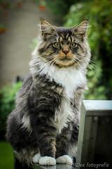 Big Kees (Ronald Dubbeldam) Tags: mainecoon cats katten pets huisdieren