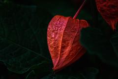 Red (anderswetterstam) Tags: berries fall nature park plants seasons closeup autumn