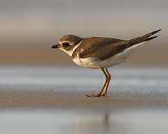 Semipalmated Plover (Shayna Marchese) Tags: semipalmatedplover fenwickisland delaware