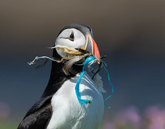 Hoping we get the message (2) (Gary McHale) Tags: puffin plastic pollution nylon isle scotland gary mchale lunga marine discarded waste sand eel fishing rope