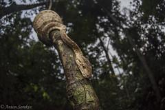 Tree Boa at Dusk (antonsrkn) Tags: amazontreeboa corallushortulanus herp herpetology herping reptile boidae snake boa twilight dusk nature wildlife animal animals peru madrededios southamerica nikon flash evening amazonjungle rainforest