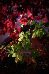The Game of Tones (picsessionphotoarts) Tags: nikond750 nikon bayern bavaria deutschland germany nikonphotography nikonfotografie herbst autumn ipsheim badwindsheim burghoheneck naturephotography blätter leaves autum herbstlaub sonne herbstsonne festbrennweite afsvrmicronikkor105mmf28ifed