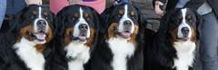 Berner Sisters 4 (t.atkian) Tags: bernesemountaindogs berners burmese bmd sisters pets dogs