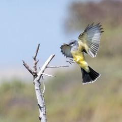 Cassin's Kingbird (Melissa James Photography) Tags: tyrannusvociferans cassinskingbird californiabird western bird nature birdinflight birdlanding