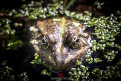 Frog (Christian Taylor - Photography) Tags: nikond500 frog