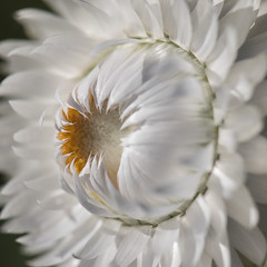 L'indiscrétion (Titole) Tags: heart immortelle everlastingflower white orange titole nicolefaton squareformat macro