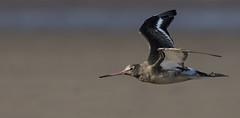 Godwit - Beach Skimmer (Ann and Chris) Tags: avian amazing bird beak beautiful coast flying gliding impressive incoming elegant close wildlife wild wings wader water waterbird godwit beach sand low skimming