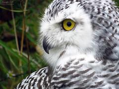 Robert Snowy Owl CRC IMG_5661 (Jennz World) Tags: ©jennifermlivick canadianraptorconservancy vittoria ontario canada raptors raptor bird snowyowl owl