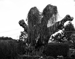 13 oct 2018 - photo a day (slava eremin) Tags: 365 1day photoaday dailyphoto bw monochrome blackandwhite blanconegro bianconero auckland tree weir nz newzealand