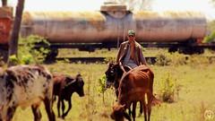 O gado e o trem (SGORLON.PHOTOGRAPH) Tags: trem train vagão ferrovia gado vaqueiro transporte ferroviário natural natureza nature naturale naturaleza naturalle vaca boi canon canont5 brasil sgorlonphotograph sgorlon