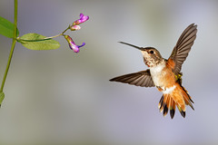Yippee!!! (Patricia Ware) Tags: allenshummingbird backyard birdsinflight california canon fullframe handheld manhattanbeach multipleflash selasphorussasin tripod ©2018patriciawareallrightsreserved specanimal sunrays5