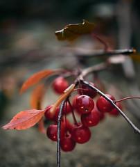 Autumn in the garden (Petr Horak) Tags: bokeh closeup countryside czechrepublic czechia cze dcg9 depthoffield dof europe f12 lumix mirrorless microfourthirds mft nature nocticron novýknín
