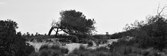 Anyway the Wind Blows (chemakayser) Tags: tree spain españa murcia salinas pino
