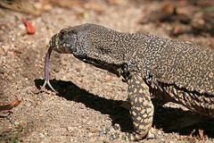 Forked tongue (aussiegypsy_Katherine NT) Tags: large heavy tongue forked powerful carnivorous diurnal terrestrial varanidae varanus varius animalia chordata squamata lace monitor lizard reptile goanna arboreal forest long athertontablelands wondecla qld queensland fnq farnorth northern australia australian aussie aussiegypys lorraineharris traditional food indigenous aboriginal people bushtucker ceremonies fat nature outdoors animal wild wildlife spotted upperbody closeup impressive