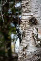 Looking for Food (Clif Budden) Tags: 2018 bowringpark canada environment nl nature newfoundland october outdoors stjohns
