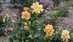 Roses in shades of Autumn (idunbarreid) Tags: yellow roses foliage