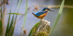 Bombs away ! (DP the snapper) Tags: kingfisher uptonwarren birds amusing