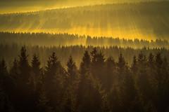 forest series #159 (Stefan A. Schmidt) Tags: warstein nordrheinwestfalen deutschland de forest golden goldenhour sunrise ethereal sunbeam sunbeams tree trees germany pentaxart kiron105mm28