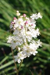 K7018936 (Fabio.Buoso) Tags: fiori piante natura prati fiorito