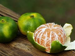 Emerald green satsumas (alansurfin) Tags: citrus satsuma mandarinorange citrusunshiu mikan orange fruit florida