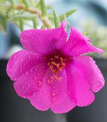 DSC_2135-2 (ramorims) Tags: flor flower cor color natureza nature nikon d550 ramorims quintaflower flowerthursday primavera spring