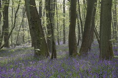 Des troncs et des fleurs *-* (Titole) Tags: trunks bluebells titole nicolefaton backlit storybookwinner
