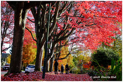 Have A Walk In The Autumn 霜葉紅於二月花 - Cambridge XT6037e (Harris Hui (in search of light)) Tags: harrishui fujixt1 digitalmirrorlesscamera fuji fujifilm vancouver richmond bc canada vancouverdslrshooter mirrorless fujixambassador xt1 fujixcamera fujixseries fujix fujixf60mmf24 fujiprimelens fixedlens autumn fall fallcolor walk sidewalk street cambridgestreet eastvancouver eastvan season mood maples mapletrees