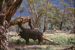Treed (David K. Edwards) Tags: lion lioness buffalo capebuffalo tree fevertree acacia forest hostility crater ngorongorocrater tanzania africa caldera