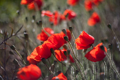 Red Poppy Blur (Geraint Rowland Photography) Tags: abstract bokeh creamybokeh dof poppies norfolk england flowers nature redpoppies wildpoppies poppyday remembranceday countryside art naturesart geraintrowlandnaturephotography abstractflowers wwwgeraintrowlandcouk