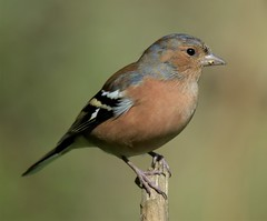 Male Chaffinch.-Fringilla Coelebs. (Zooman2009) Tags: birdlife