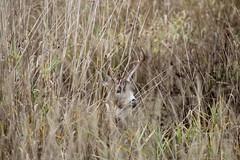 IMG_0671 (Jon. D. Anderson) Tags: deer buck blacktaileddeer threepoint odocoileushemionuscolumbianus odocoileushemionus odocoileuscolumbianus grass camoflage