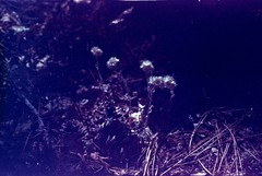 (~filth~filler~) Tags: camping ae1 2014 forest payson arizona canon 35mm film philm expired expiredfilm purplishpink purple periwinkle violet indigo deadweed microcosm forestfloor