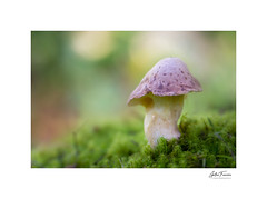 What's Up! (g.femenias) Tags: mushroom toadstool fungus moss nature macro macrophotography bokeh woods pinardenroca bonany petra mallorca
