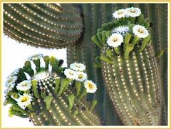 Suguaro Cactus in Bloom (robinb44) Tags: suguaronationalpark suguaro bloom saguarocactus cereusgiganteus carnegieagigantean meaninggiganticcandle arizona northernmexico